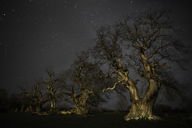 Chesnut Trees,Croft Castle, UK